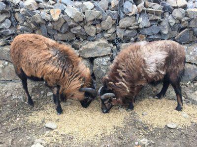owce-kamerunskie